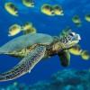 Tartaruga marina verde che nuota accanto a un banco di pesci farfalla.