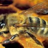 UE: la salute delle api