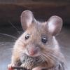 I topi tornano a sentire