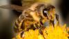 Un generatore di frequenza aiuta a proteggere le colonie di api mellifere