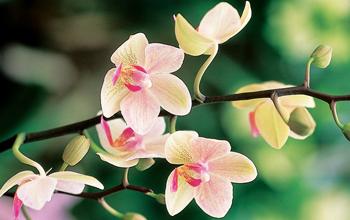 orchidee_350x220