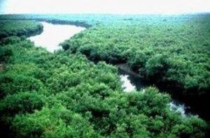 foreste mangrovie