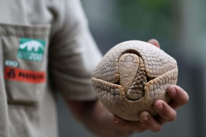 Il biologo brasiliano Rodrigo de Cerqueira tiene nella mano un armadillo (Tolypeutes tricinctus) allo zoo di Rio de Janeiro. L'animale è stato scelto come mascotte per i mondiali per la sua straordinaria capacità di chiudersi a riccio, o meglio a palla.