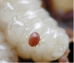 Varroa_on_larvae
