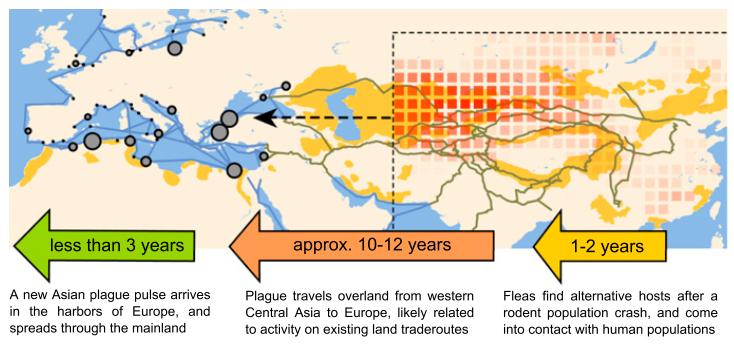 Figura 4. Schema del processo di reintroduzione della peste in Europa.