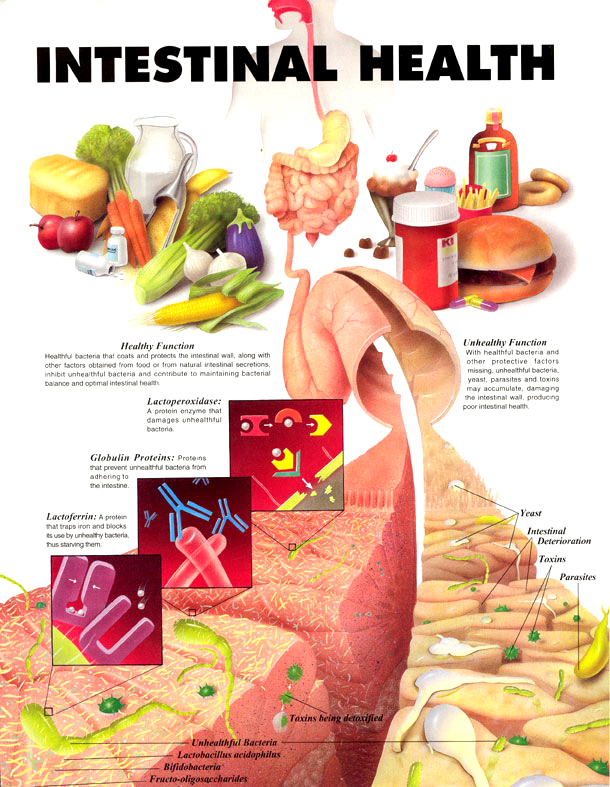 intestino sano