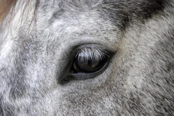 Eye of a grey Horse France