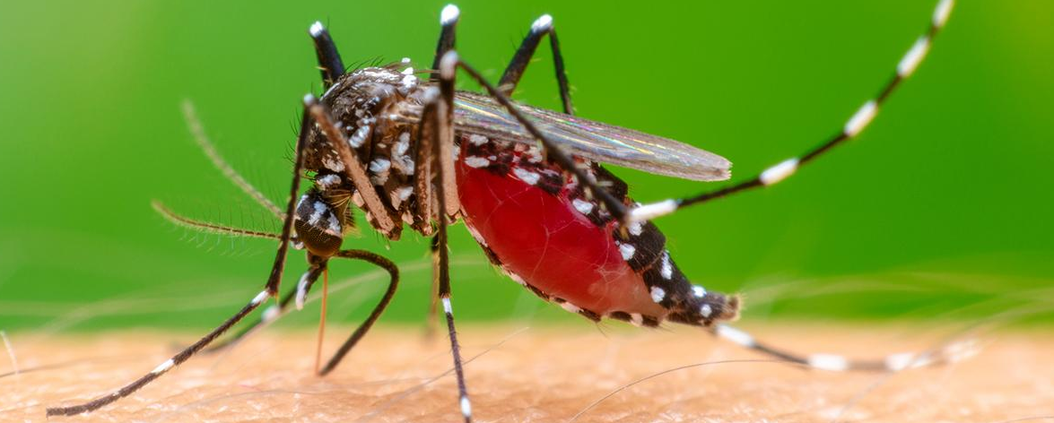 zanzara West Nile virus