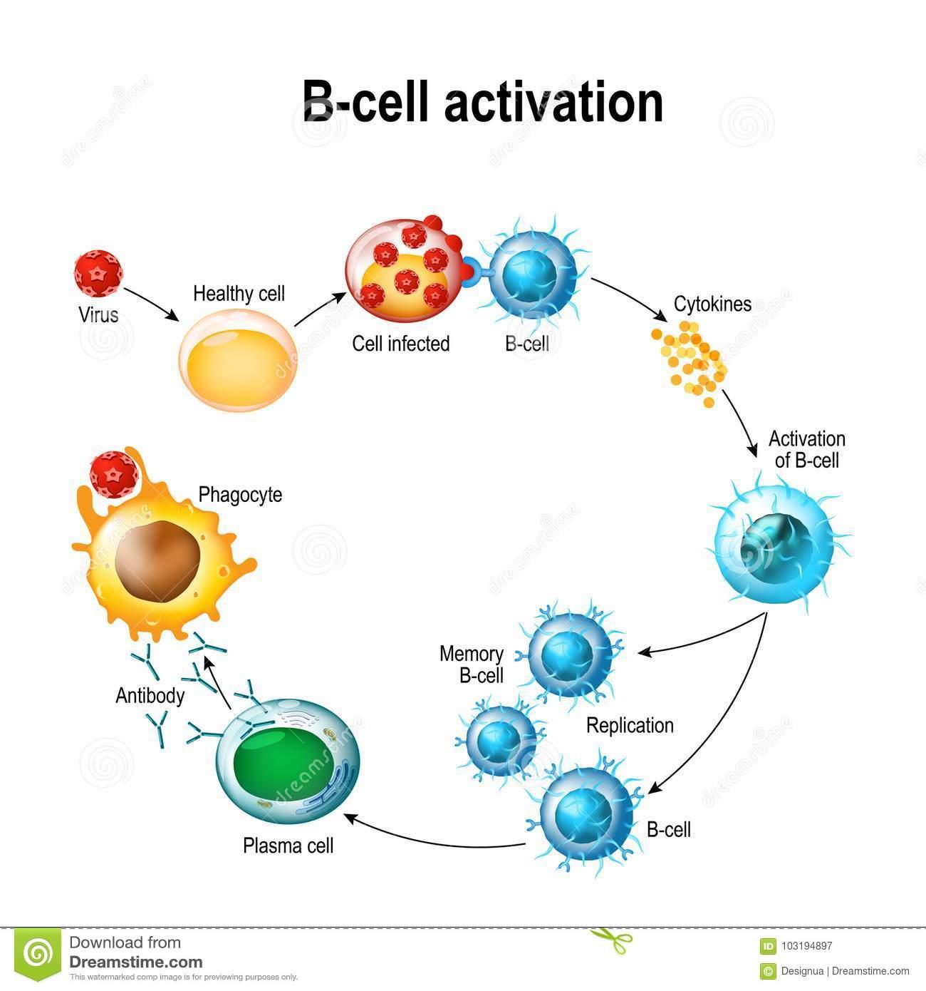 attivazione linfocita