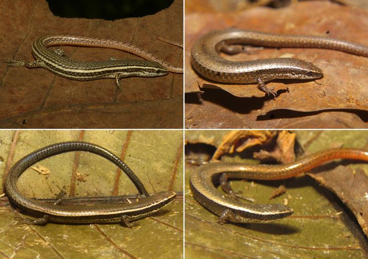 Gymnophthalmidae