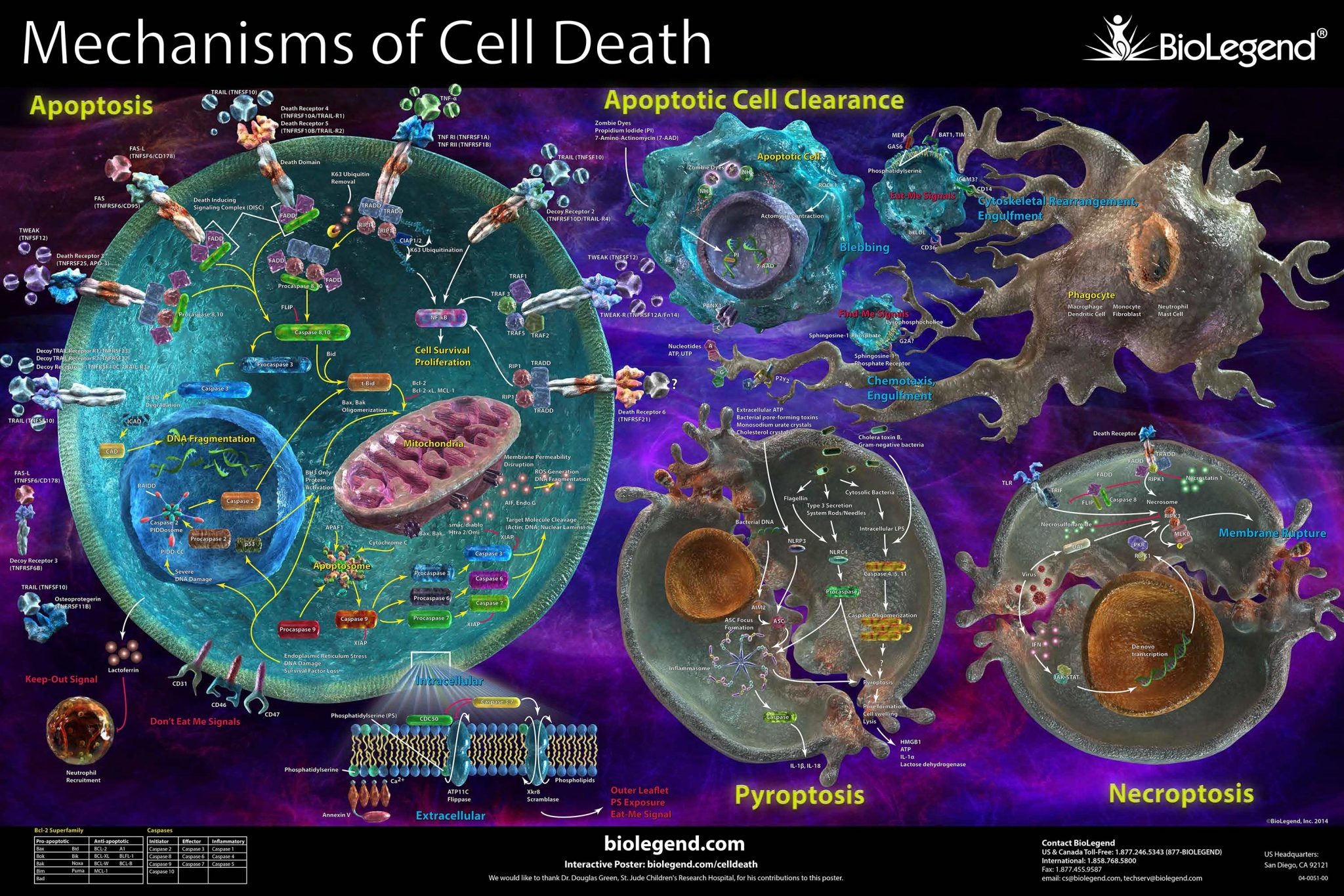 Morte cellulare